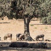 El cerdo blanco y el cerdo ibérico ¿en qué se diferencian?